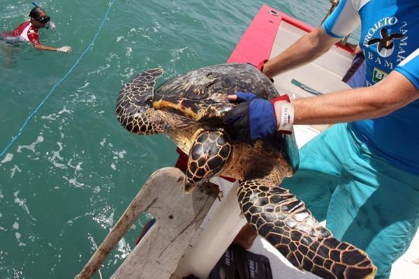 Tortuga marina en peligro de extinci�n